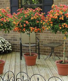 The lantana plant, a bright, sun-loving plant producing flowers in abundance and rewarding you with lots of color. Mastering lantana care is not difficult. Made to order for any bright patio with l… Patio Trees, Patio Plants, Landscaping Plants, Outdoor Plants, Outdoor Gardens, Lantana Tree, Lantana Bush, Lantana Plant, Container Flowers