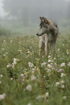 A Gray Wolf, Canis Lupus, Standing  by Jim And Jamie Dutcher