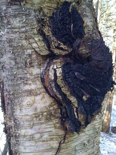 How to harvest chaga  This is a good read for those interested in living off the land.  A lot of good advice!