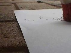 An Ant Trail- from Mrs. Lauren Florio's Teaching Portfolio. I used this video to teach the Schoolyard Safari (Primary Connections) content.