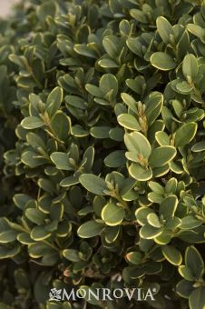 Monrovia's Green Mountain Boxwood details and information. Learn more about Monrovia plants and best practices for best possible plant performance.
