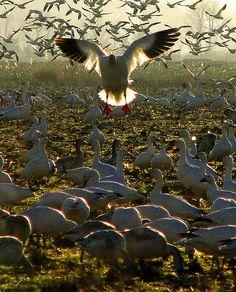 Migrating Snow Geese in Milton, DE