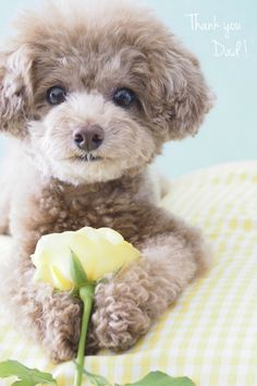 Thank you Dad! Toy poodle / dog