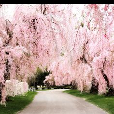Weeping cherry trees at the Lexington Cemetary