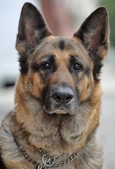 Shepard, dog looks so cool I want another one again. I really like German Shepards ears lol