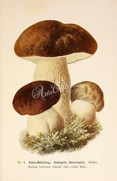 - boletus bulbosus, boletus edulis, penny bun, cep, porcino or porcini vintage printable picture image from ancient book jpg Botanical Drawings, Botanical Prints, Pictures Images, Vintage Pictures, Wild Mushrooms, Stuffed Mushrooms, Image Fruit, Image Nature, Printable Pictures