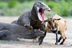 Pair of Komodo dragons catch and kill an unsuspecting goat in Indonesia Reptiles And Amphibians, Mammals, Komodo Dragon Attack, Dragon Facts, Large Lizards, Dragon Fight, Deadly Creatures, Dangerous Animals, Apex Predator