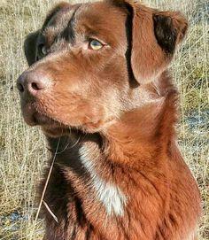 Sheprador (Australian Shepherd x Labrador) Beautiful