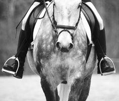 English saddle, dapple gray