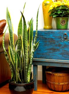 Another easy to care for houseplant is the snake plant or mother-in-law's tongue. The long leaves can be very elegant.