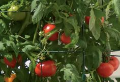 Keep the plants watered and fertilized, and you'll be harvesting ripe tomatoes in about two months.