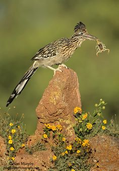 Greater Roadrunner By Alan Murphy - the other thing the cartoon didn't teach me is when a Roadrunner catches its live prey, it beats the snot out of it against a rock or the ground itself to subdue it if not out right kill it!