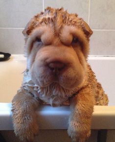 Lisa Cunningham‎SHAR PEI CLUB (UK)
