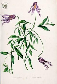 Blue Jasmine. Clematis crispa. Herbier général de l'amateur. Deuxième Série, vol. 1 (1839-50) | par Swallowtail Garden Seeds