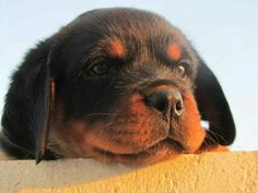 """Figure out even more information on """"rottweiler puppies"""". Take a look at our website. Rottweiler Funny, Rottweiler Training, Rottweiler Puppies, I Like Dogs, Big Dogs, German Dog Breeds, Golden Retriever, Retriever Puppies, Labrador Retrievers"""