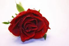 A beautiful red rose with dew drops :)
