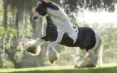 Good Pix For - Shire Horse