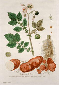Nicolas François Regnault, La Pomme de Terre. Solanum Tuberosum. Grundbir. Potatoe. Papas. Kartoffel, Paris, 1774