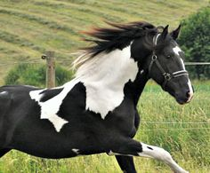 Another liberty pic of Barockpinto stallion, Bonte Ben.