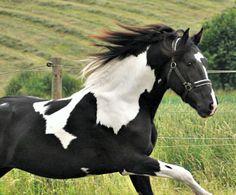Another liberty pic of Barockpinto stallion, Bonte Ben.