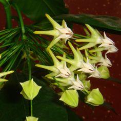 Enkelt blad Hoya kerrii