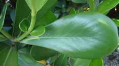 Meu cantinho verde: CLÚSIA - ( Clusia fluminensis )