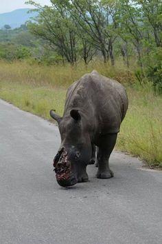 poaching rhino Africa, braconnage rhinocéros Kruger Park, Afrique