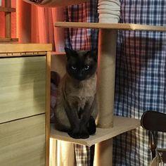 出かける支度してたらこの顔、、、笑 #愛猫#猫#トンキニーズ#cat#tonkinese