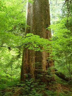 Huge trees in the Grove of the Elders at Mt. Rainier