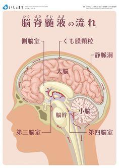 脳脊髄液(髄液)の流れ #infographics Brain Tricks, Medical Anatomy, Medical Science, Chiropractic, Human Body, Live Life, Biology, Quotations, Health Care