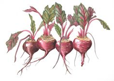 red beet botanical paintings drawings - Google Search
