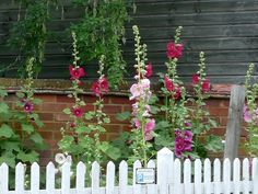 Picket fence and hollyhocks.