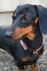 Baby is an adoptable Dachshund Dog in Newberg, OR.  ...