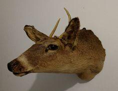 Check out this item in my Etsy shop https://www.etsy.com/listing/514653138/vintage-spike-deer-shoulder-mount