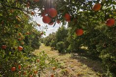 Sunburst tangerines in our Weirsdale, FL groves