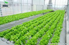 Legume sanatoase, din cultura hidroponica Vegetarian Food, Hydroponics, Vegetables, Culture, Plant, Vegetarian Cooking, Vegetable Recipes, Veggie Food, Vegan Food