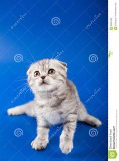Royalty Free Stock Photos: Kitten scottish fold breed - #scottishfoldkittens -Tops Scottish Fold Cat Breeds at Catsincare.com!
