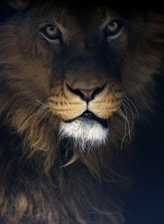 Three lions Ivan, Cornel and Lepa were acquired from the Belgrade Zoo by a private person in 2009, before the Serbian legislation that prohibits possession of dangerous wild animals came into force in 2010. (Reuters)
