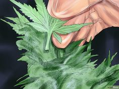 How to Trim Marijuana. Marijuana plants must be well cared-for and carefully harvested. Wear gloves and choose the time you trim your plants carefully. Trim the top off your plant to allow the leaves to get more light. Marijuana Leaves, Marijuana Plants, Weed, Cannabis Growing, Yellow Leaves, Harvest Time, Aurora Sleeping Beauty, Gardening, Culture