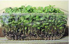 микрозелень подсолнечника