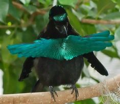 Superb Bird-of-Paradise male (Lophorina superba), is a species of the Paradisaeidae (bird-of-paradise) family. It is the only member in the genus Lophorina. is distributed throughout rainforests of New Guinea.