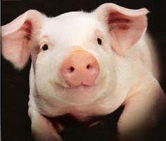 Résultats Google Recherche d'images correspondant à http://www.wallpaperdojo.com/images/animalWallpapers/cute_pig_portrait.jpg