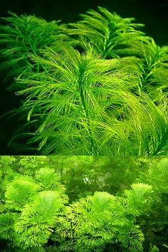 "aquarium44: "" Endless list of favorite aquatic plants: 11/* → Cabomba caroliniana :: as requested by ihasquestions :: (photos © by aquascapingworld.com (first picture) and zoomeister.de (second..."