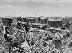 Grape harvest for Port Wine - Douro Valley (Portugal) - photo by Artur Pastor Old Pictures, Old Photos, Vintage Photos, Douro Valley, Port Wine, Color Photography, Portuguese, Black And White, Wine Storage