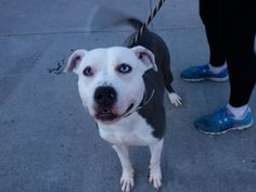 TO BE DESTROYED THURSDAY- 04/03/14 Brooklyn Center  My name is TAZZ. My Animal ID # is A0994750. I am a male gray and white pit bull mix. The shelter thinks I am about 1 YEAR 1 MONTH old.  I came in the shelter as a STRAY on 03/24/2014 from NY 11212, owner surrender reason stated was OWN ARREST.