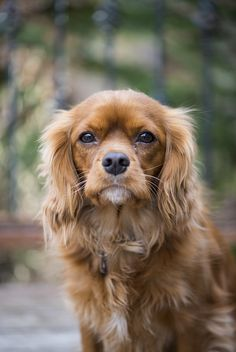 Cavalier King Charles Spaniel. It looks like a long haired Spanky!