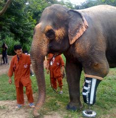48 year old Thai elephant stepped on a landmine remnant of the Burmese-Thai war. She lost her leg...but now has a state-of-the-art prothesis. Beautiful