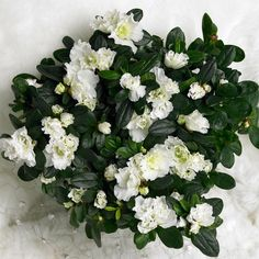 Asalea- Rhododendron simsii-hybrider Lyngfamilien / Ericaceae