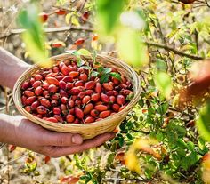 Foraging rose hips in the fall