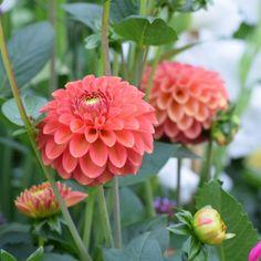 Dahlia Zundert Mystery Fox, Seasonal Wedding Flowers, Milton Keynes
